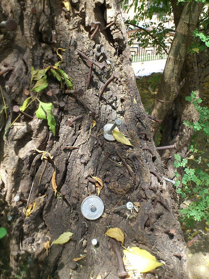 Coins of Rs. 1 and 2 hammered along with the nails in the cedar tree.