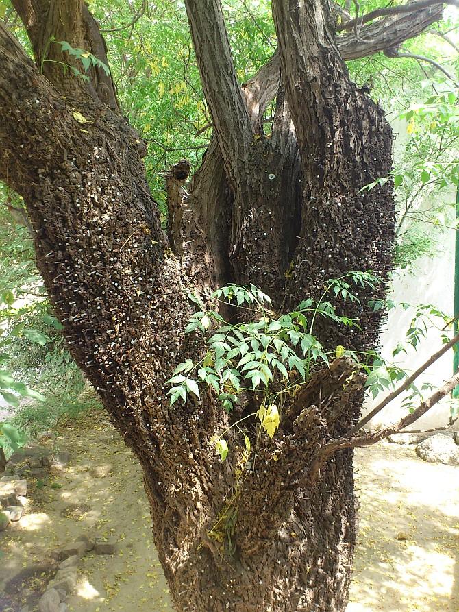 بکائن کا درخت جس میں کیلیں ٹھونکی گئی ہیں۔